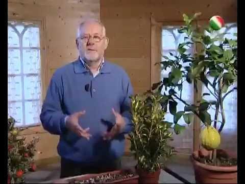 Potatura dei limoni doovi for Potatura limoni in vaso