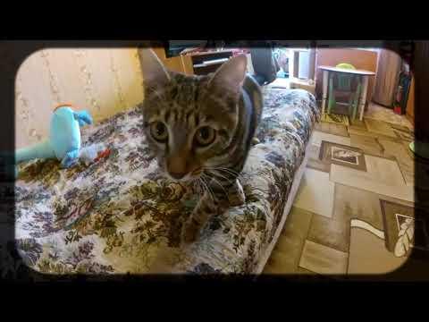 Кошка породы сококе - активно атакует