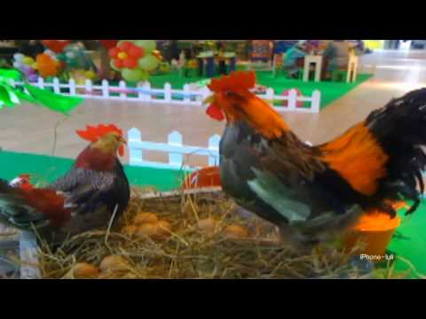 QTU Tirana Pashke (Easter)t-Chicken Farm