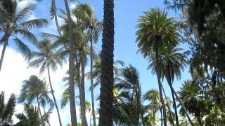 Date Palms near Diamond Head, Hawai