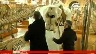 Elephant skeleton loses tusk in Paris museum theft.