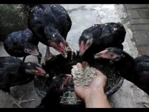 Pakan Ayam Yang Pas Di Musim Hujan.. Mp3