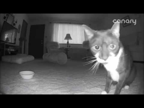 Cat checks out the Canary Smart Home Security Camera