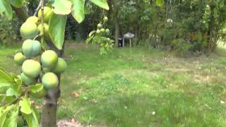our plum harvest and thoughts on varieties and uses