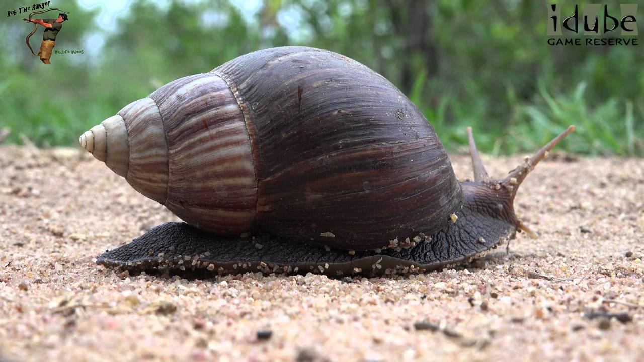 Giant african land snail eating - photo#36