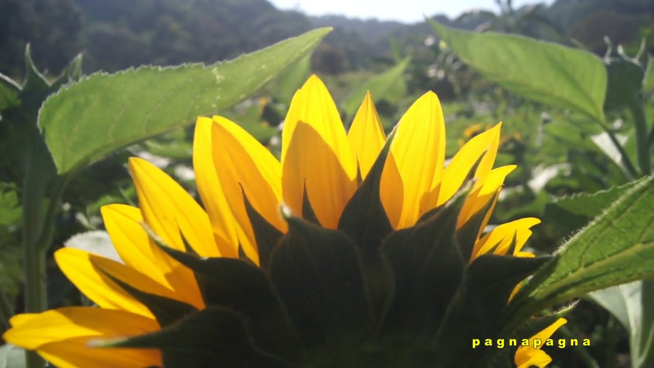 pagnapagna: waterfalls of saracat and sunflowers