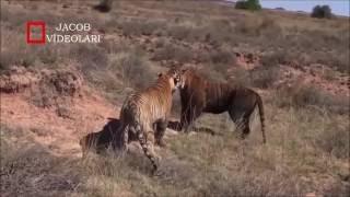 Львы против Тигров кто сильнее? HD