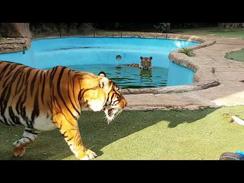 The sound  from a tiger if it gets hit on the head with its mouth open .