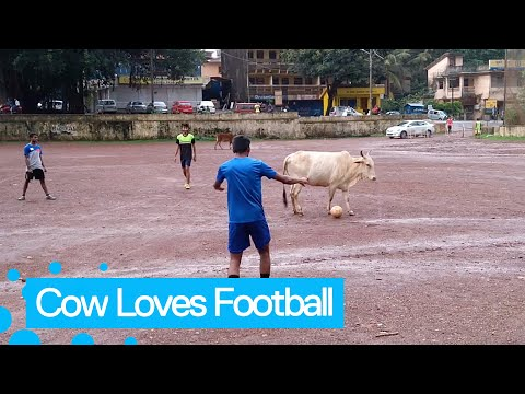 Cow Joins Football Match And Refuses To Give Up Ball