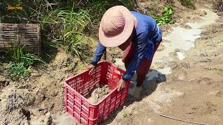 National Fishing - Catfishes & Mud fishing Use Bamboo fishing trap & plastic basket by A Fisher man