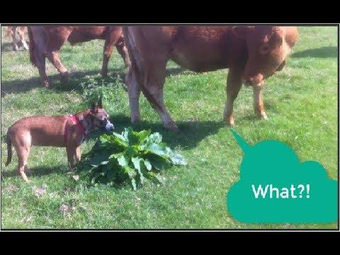 Australian cattle dog vs cow! funny encounter