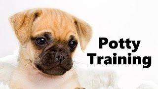 How To Potty Train A Chug Puppy - Chug House Training Tips - Housebreaking Chug Puppies Fast & Easy