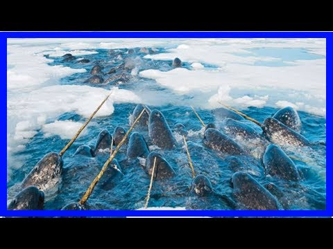 Humans cause alarming stress in narwhals