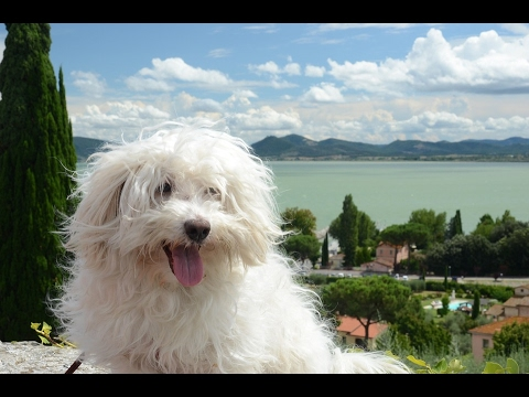 Bolognese / Dog Breed