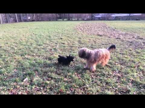 Finnlay and Babou, the Briard
