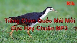 Tiếng Chim Quốc Mái Mồi Cực Hay Chuẩn MP3