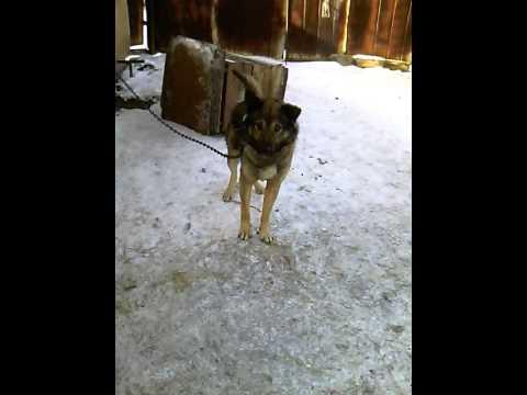 Помогите узнать породу собаки