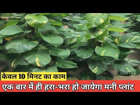 Money Plant गर्मियों में हरा-भरा हो जायेगा