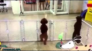 Toy Poodle Dancing