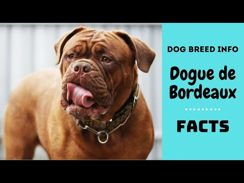Dogue de Bordeaux dog breed. All breed characteristics and facts about Dogue de Bordeaux