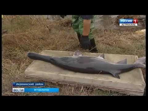 200 кг черной икры веслоноса и 6 тонн копченых деликатесов поставят на рынок астраханские рыбоводы
