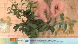 Как сформировать крону фикуса(, 2012-04-17T15:55:01.000Z)