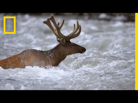 Take an Epic Journey With the Elk of Yellowstone | Short Fil