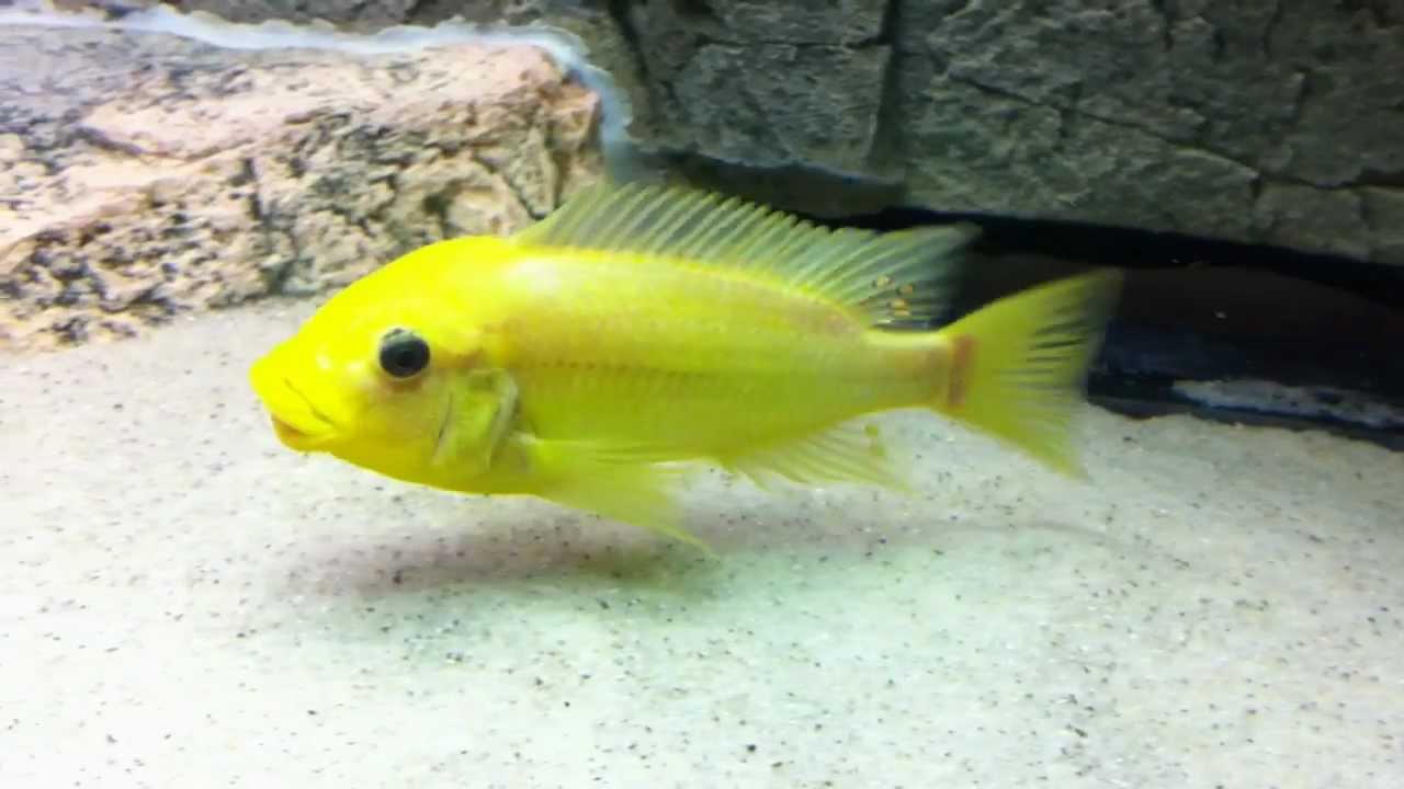 """Картинки по запросу Petrochromis sp. Moshi """"Sibwesa"""""""