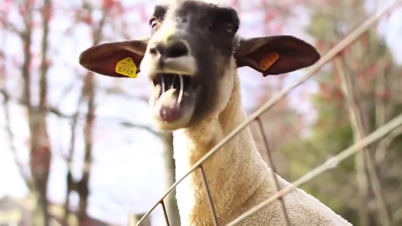 Funny Goats Screaming like Humans   YDL  Mom Screaming Goats Funny