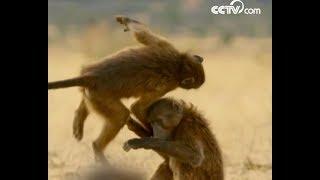 Baboons are having fun| CCTV English