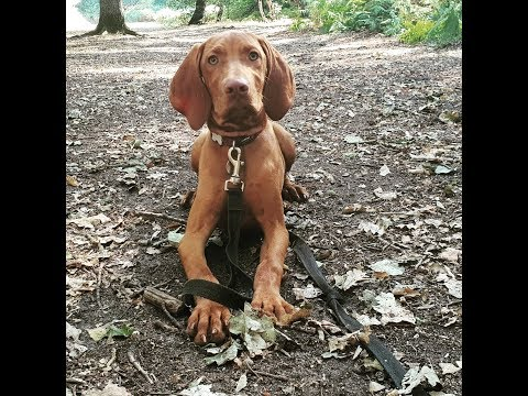 Amber - 4 Month Old Hungarian Vizsla Puppy - 2 Weeks Residential Dog Training