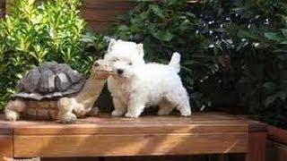 Westy La Mejor Raza De Perro