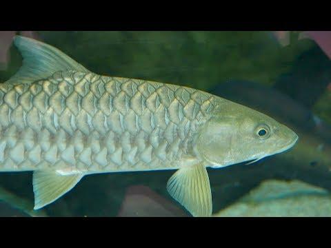 Goonch Catfish Aquarium Video || Aquarium Fish Tank Video || Cat Fish Aquarium Video || Machali