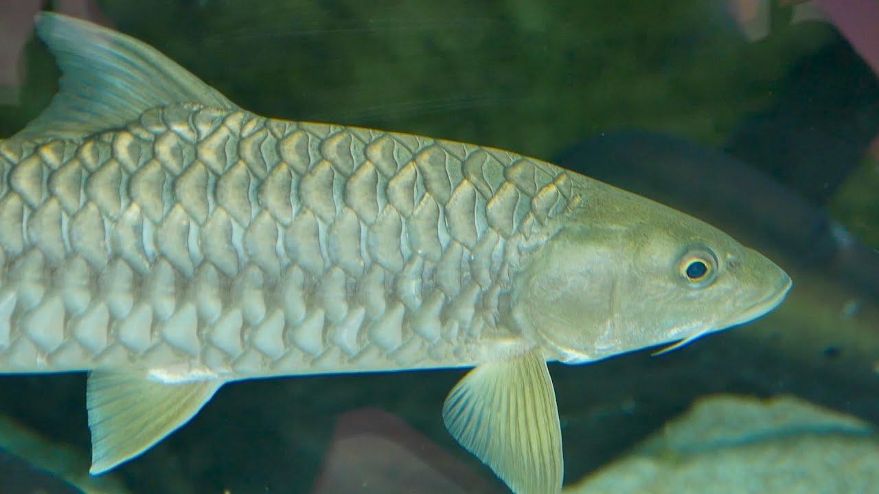 Fishes Video Goonch Catfish In Aquarium Fish Tank In River Safari