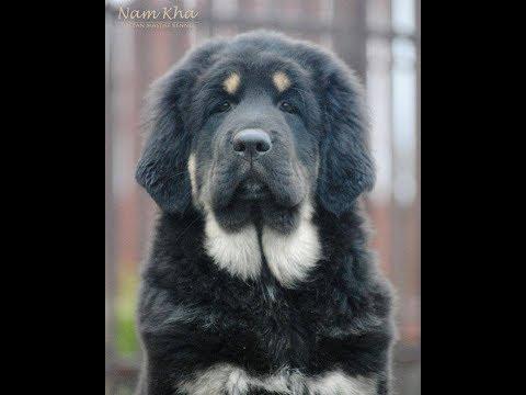 MAMAKI Nam Kha - young cute Tibetan Mastiff