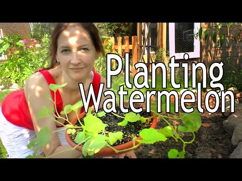 Planting Watermelon: Grow Your Own Food And Eat It Too