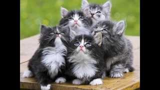 Акана состав корма для кошек