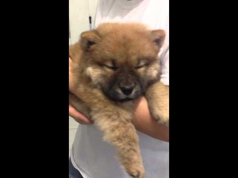 Baby Chow Chow Fighting Against CDV with Pneumonia