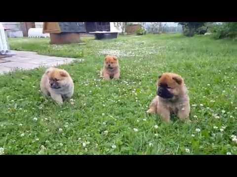 Chow-chow puppies, 35 days old
