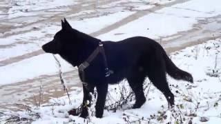 Черная немецкая овчарка Вольф 9 мес.Пинск.