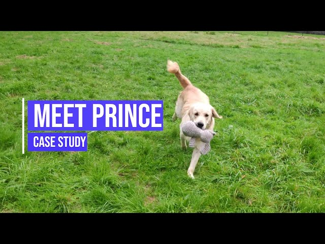 Meet Prince, an excitable golden retriever with RECALL and FOCUS issues