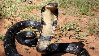 Королевская кобра выползла на прогулку в Таиланде рядом с супермаркетом