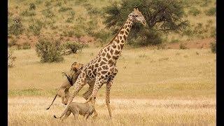 Leões atacam girafas - Ataque de animais predatórios