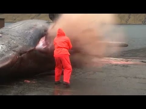 Sperm Whale Explodes As Man Tries To Open Stomach Youtube