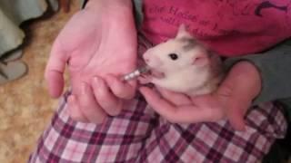 Как влить в крысу невкусное лекарство