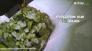 SpectraMODULE Z200 - Timelapse of peppers under the horticultural LED lamp