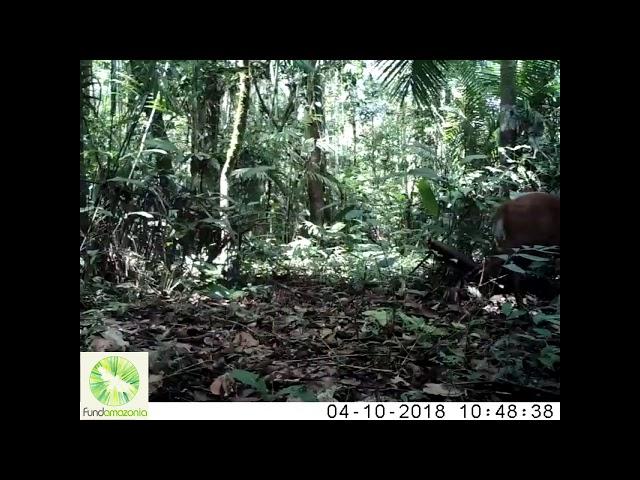 Red brocket  deer   Mazana americana2