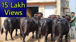 हरियाणा मूर्राह की खान।  Show Quality Buffaloes in Juglan(Hisar). Owner - Rajsh
