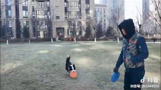 Border Collie Dogs Incredible Frisbee Talent