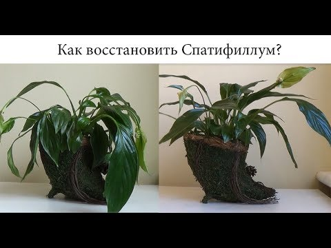 Почему опустились листья Спатифиллума? Восстановление растения.